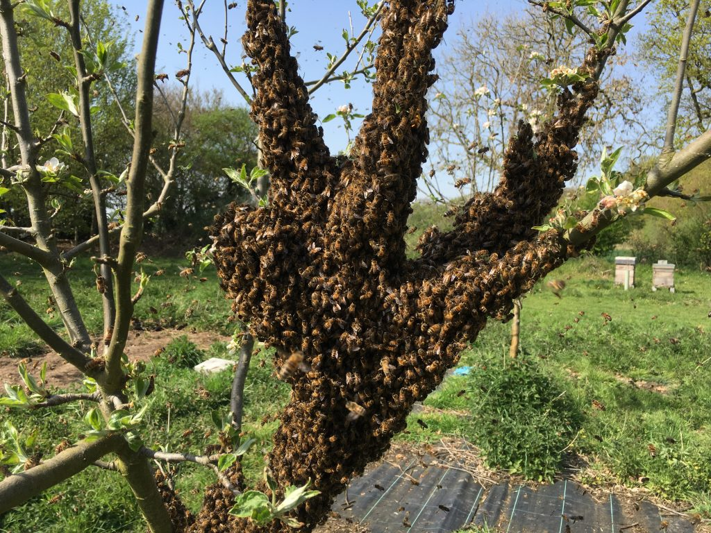 Swarm in an apple tree to illustrate a bee swarm removal.