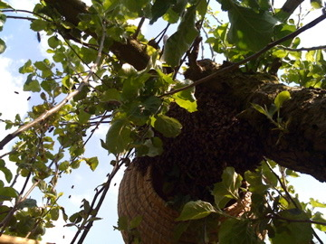 Catching a swarm in a tree in a basket.